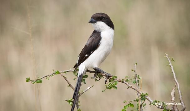 20081130 3997 610x356 - Birds of Tanzania