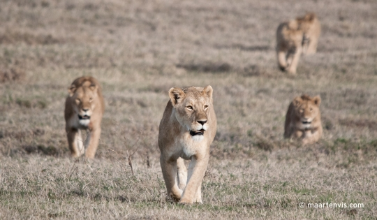 The Lion King Tanzania