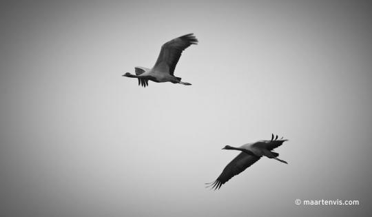 The Demoiselle Cranes at Khichan India