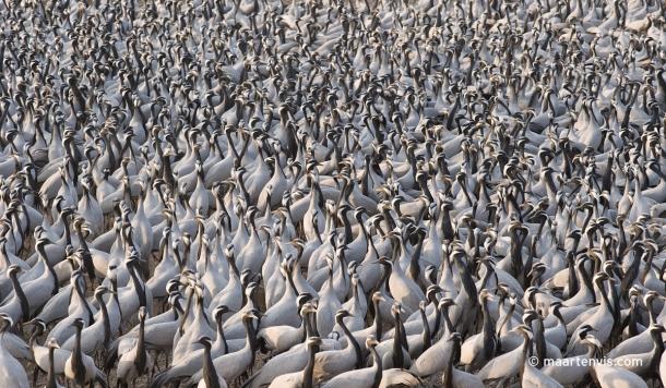 20100224 3823 610x356 - The Demoiselle Cranes at Khichan