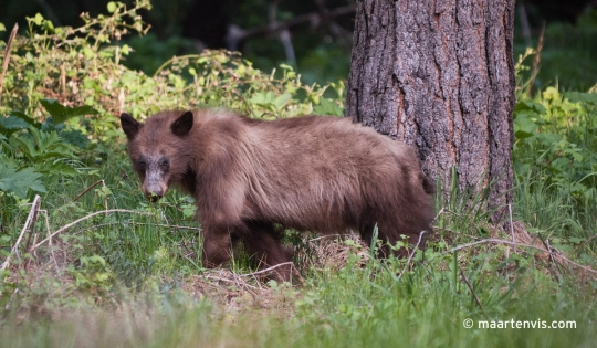 Bear Spotting in Yosemite Valley California United States