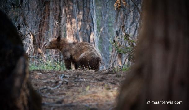 20120505 7219 610x356 - Bear Spotting in Yosemite Valley