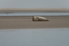 20170707 3355 270x180 - Terschelling Seal Watching