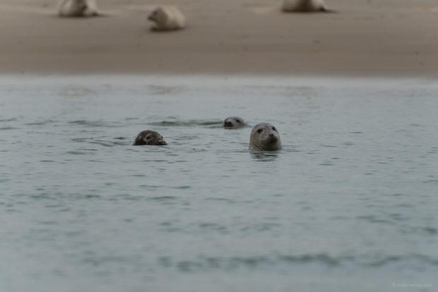 20170707 3367 620x414 - Terschelling Seal Watching
